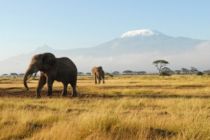 African Elephants and Mount Kilimanjaro - Amboseli National Park, Kenya